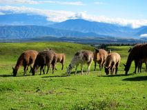 Llamas in the mountains of Ecuador stock image