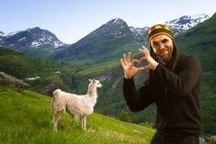 Llamas in the mountains. Stock Photos