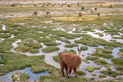 Llamas in the mountains near Paso de Jama, Argentina-Chile Royalty Free Stock Images