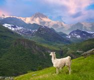 llamas in the mountains. stock image