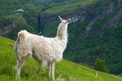 Llamas in the mountains. Royalty Free Stock Image