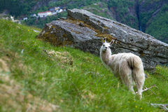 Llamas in the mountains. Royalty Free Stock Photos
