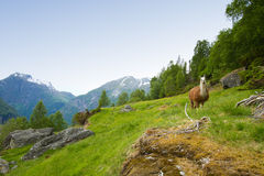 Llamas in the mountains. Stock Photo