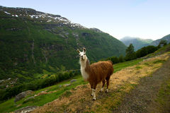 Llamas in the mountains. Stock Photos