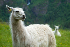 Llamas in the mountains. Royalty Free Stock Photo