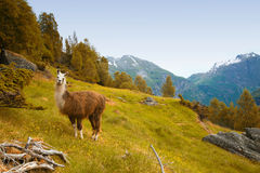 Llamas in the mountains. Royalty Free Stock Images