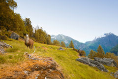 Llamas in the mountains. Stock Photography