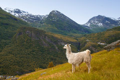 Llamas in the mountains. Stock Images