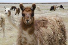 Llamas, mundo de las alpacas Imágenes de archivo libres de regalías