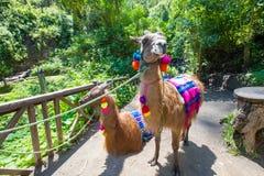 Llamas Otavalo Ecuador stock photo