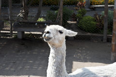Llamas At A Park Royalty Free Stock Image