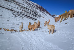 Llamas in Peru Royalty Free Stock Photos