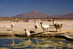 Llamas by the pond Royalty Free Stock Photo