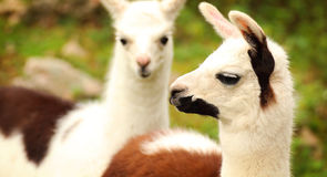 Llamas Stock Photo