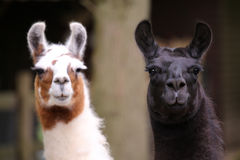 Llamas Royalty Free Stock Photos