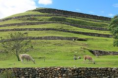 Llamas at Pumapungo Park in Cuenca, Ecuador. Tethered llamas graze at the base of terraced Inca ruins at Pumapungo Archaeological Park in Cuenca, Ecuador Stock Photo