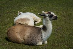 Llamas resting on the lawn royalty free stock image