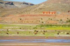 Llamas on river bank Royalty Free Stock Photography