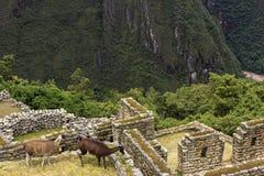 Llamas in ruins of Machu Picchu Royalty Free Stock Photo