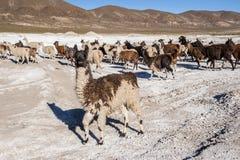 Llamas on Salar de Uyuni in Bolivia Royalty Free Stock Images