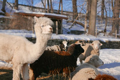 Llamas and Sheep in Winter Royalty Free Stock Photo