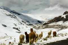 Llamas in snowy mountains Stock Photography