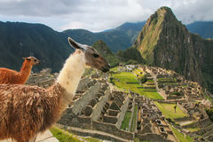 Llamas standing at Machu Picchu overlook in Peru. In 2007 Machu Picchu was voted one of the New Seven Wonders of the World Royalty Free Stock Photos
