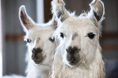 Llamas on a typlical farm Royalty Free Stock Photo