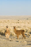 Llamas vertical Stock Image