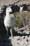 Llamas in the vicinity of Coquesa - Thaua Village, Salar de Uyuni, Bolivia Stock Photography