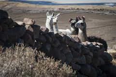 Llamas in the vicinity of Coquesa - Thaua Village, Salar de Uyuni, Bolivia Royalty Free Stock Photography