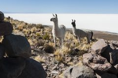 Llamas in the vicinity of Coquesa - Thaua Village, Salar de Uyuni, Bolivia Stock Image