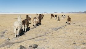 Llamas in the vicinity of Tahua village in Bolivia - Salar de Uyuni in the background Stock Images