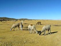 Llamas y alpacas Fotografía de archivo libre de regalías