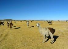 Llamas y alpacas Fotos de archivo libres de regalías