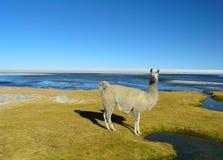 Llamas y alpacas Foto de archivo libre de regalías