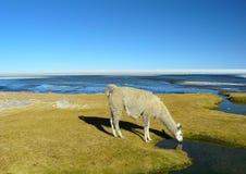 Llamas y alpacas Imagen de archivo libre de regalías