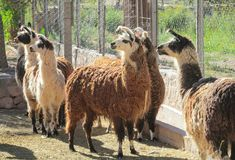 Llamas in a zoo. In latin America, Peru Royalty Free Stock Images