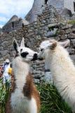 llamasförälskelse Arkivfoto