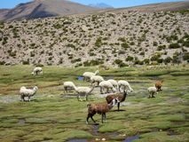 Llams in the Andes Stock Photography