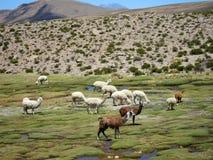Llams en los Andes Fotografía de archivo