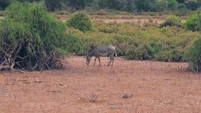 Llano africano de Graze Dry Grass On The de las cebras entre los arbustos en la estación secada almacen de metraje de vídeo