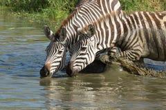 Llanos, cebra que bebe del río de Seronera, Serengeti, Tanza Fotografía de archivo libre de regalías