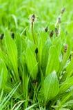 Llantén del ribwort del retrato de la planta Imagen de archivo