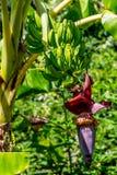 Llantenes o plátanos el cocinar que crecen en un árbol Imagenes de archivo