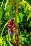 Llantenes o plátanos el cocinar que crecen en un árbol Foto de archivo