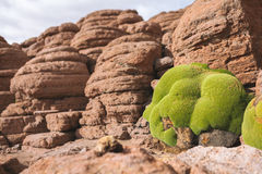 Llareta growing on desert rocks - Bolivia royalty free stock photo