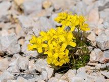 Lle brassicaceae gialle nelle alpi austriache Immagini Stock
