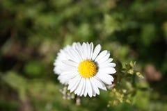 Lle fioriture schiette e delicate coraggiose della margherita in uno dei primi giorni caldi della molla immagine stock libera da diritti