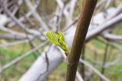 Lle foglie verdi di un fico Albero di Ficus carica agricoltura Fotografia Stock